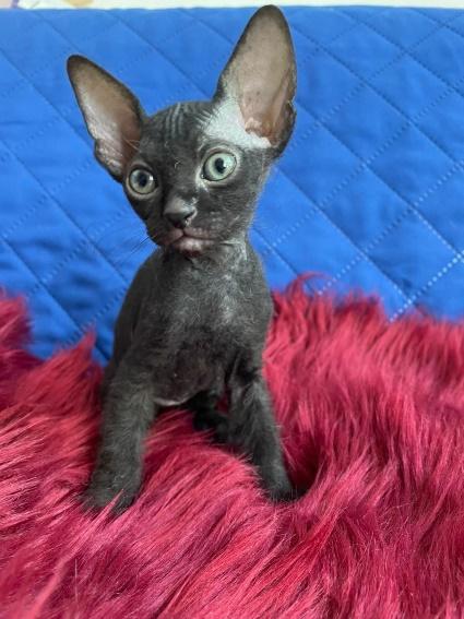 Süße Kitten abzugeben