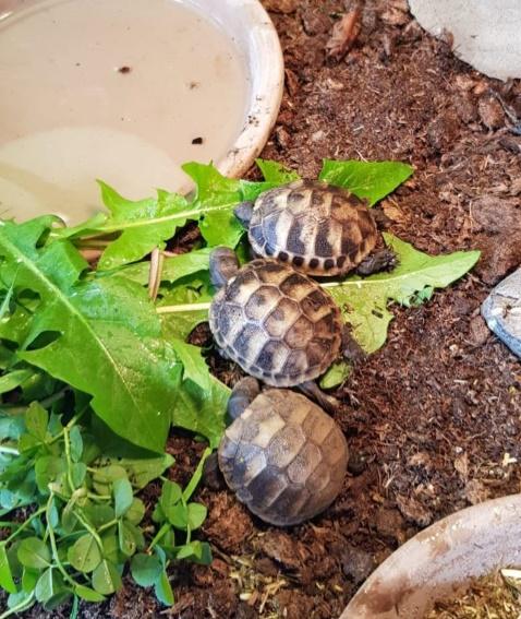Freiburger Schildkröten zu verkaufen!
