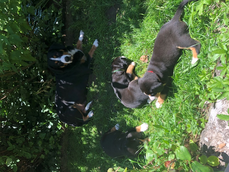Entlebucher Sennenhund Welpen Reinrassig